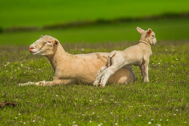 ovce s jehnětem